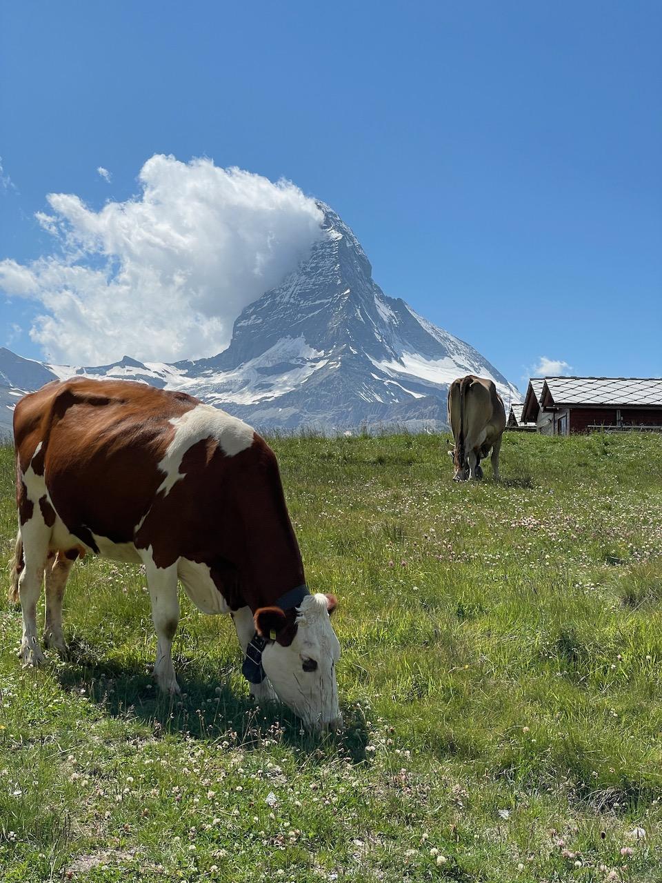 Cow and the Matterhorn